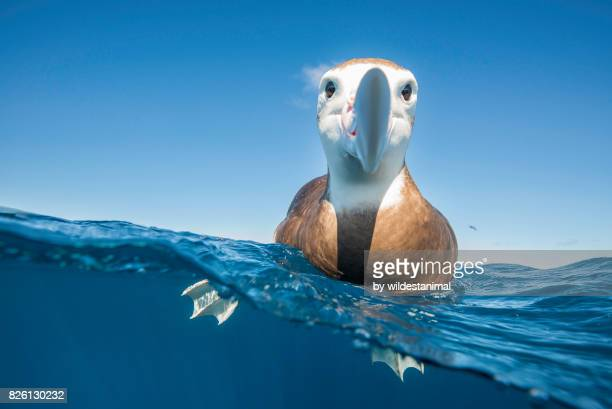 over and underwater view of a brown headed albatross resting on the water's surface and taking a very keen interest in the photographer, north island, new zealand. - zeevogel stockfoto's en -beelden