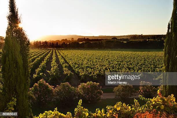 over looking vineyard at sunrise. - província do cabo ocidental imagens e fotografias de stock