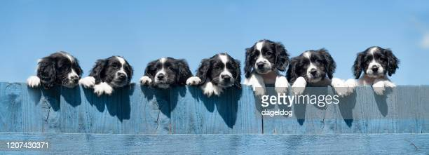 over the fence - springer spaniel stock pictures, royalty-free photos & images