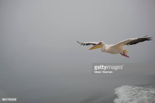 PELICAN FLYING HIGH over Walvis Bay in Namibia.