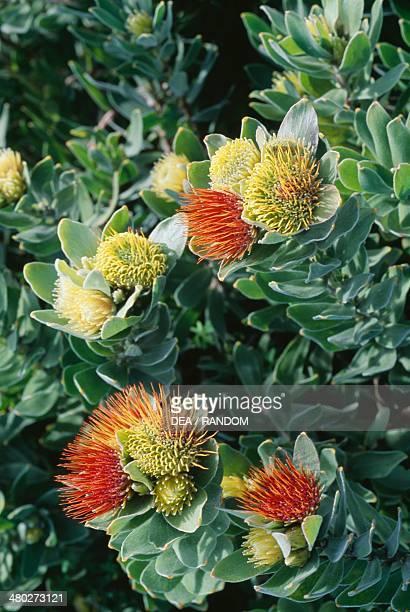 Overberg Pincushion , Proteaceae.