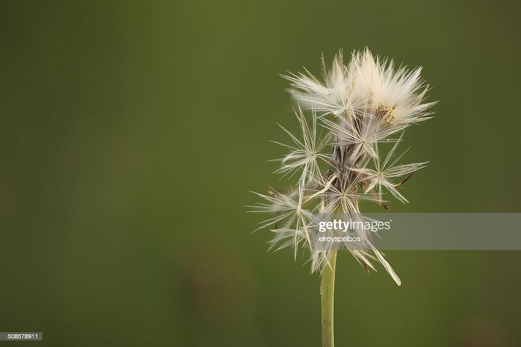 Overblown dandelion : Stock Photo