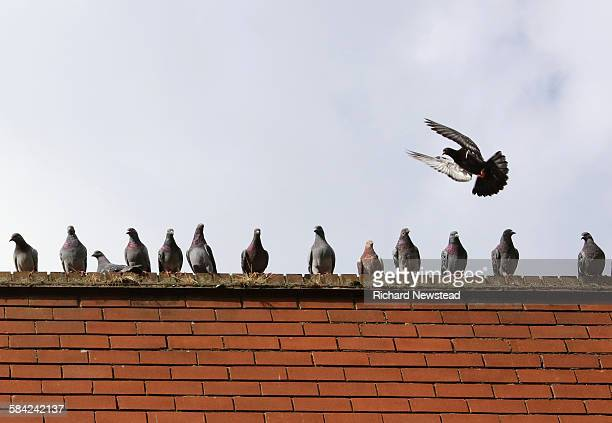 overcrowded space - pigeon stock pictures, royalty-free photos & images