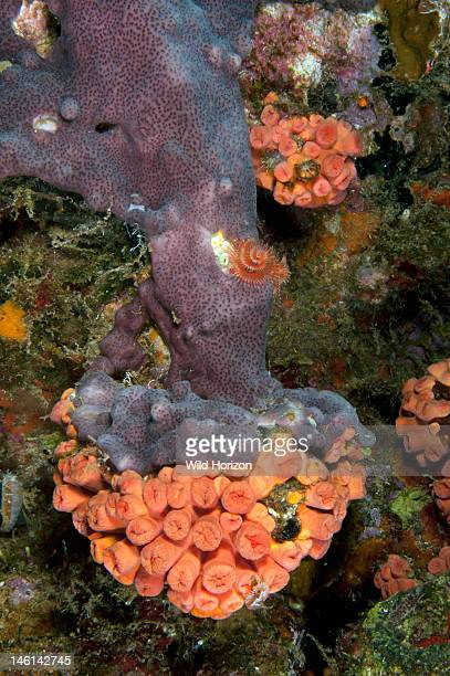 Overgrowing mat tunicate taking over a colony of orange cup coral Curacao Netherlands Antilles