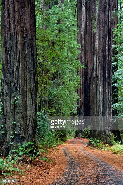 overgrown road in lush forest,  california - humboldt redwoods state park stock photos and pictures