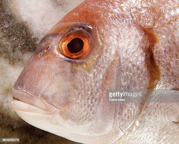 Overhead close up of sea bream fish head