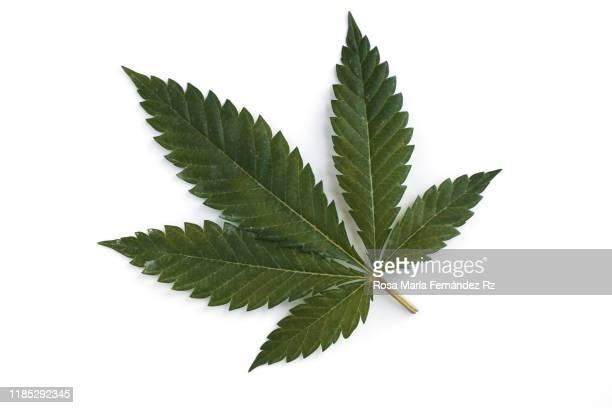 overhead of medical marijuana leaf on white background - légalisation photos et images de collection
