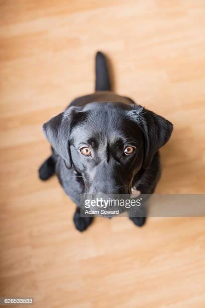 Overhead portrait of black female labrador sitting on floor