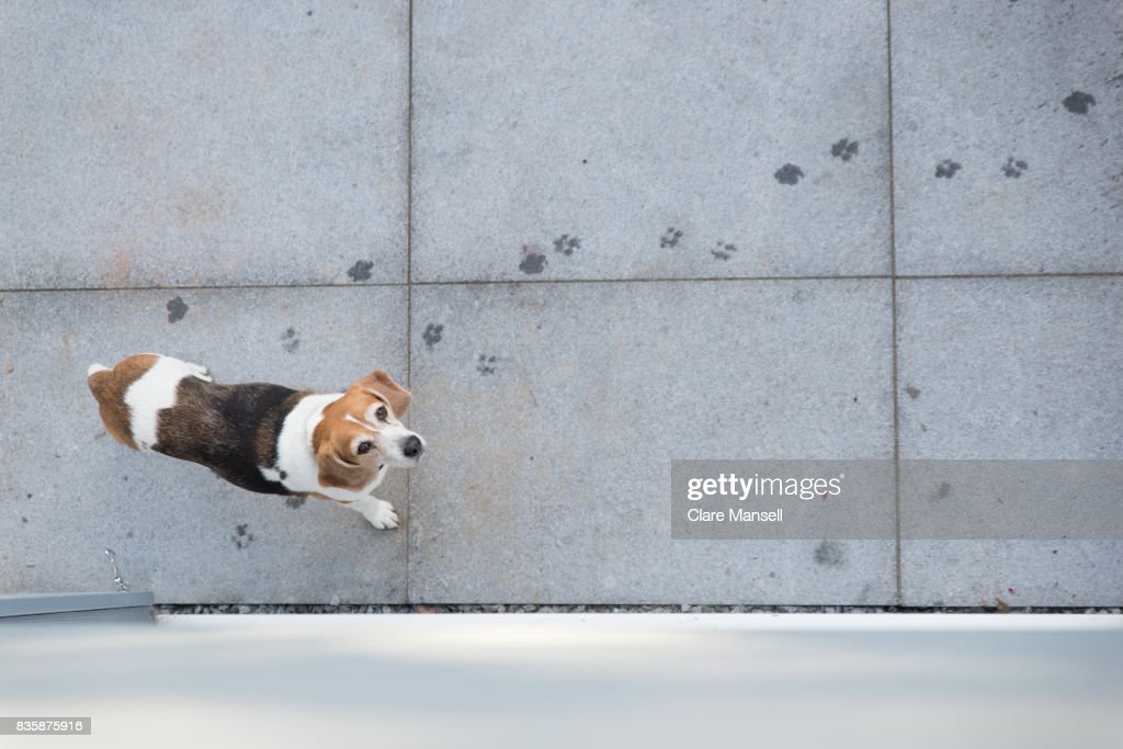 Overhead shot of beagle on patio : Stock Photo