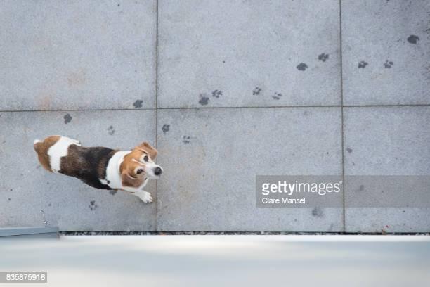 overhead shot of beagle on patio - ビーグル ストックフォトと画像