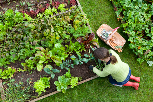 Overhead Shot of Woman Digging in a Vegetable Garden 157505043