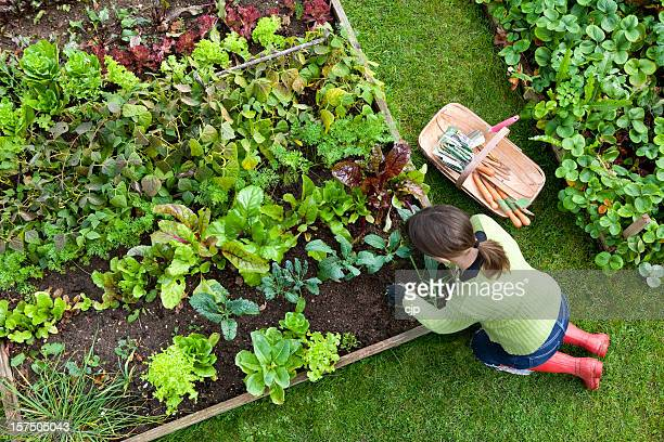 overhead shot of woman digging in a vegetable garden - tuinieren stockfoto's en -beelden