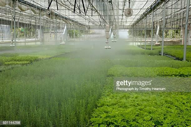 overhead sprinklers water flats of basil and other herbs in a greenhouse - timothy hearsum bildbanksfoton och bilder