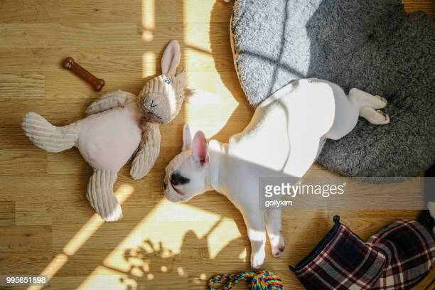 overhead view of a french bulldog puppy sleeping - pet toy stock pictures, royalty-free photos & images