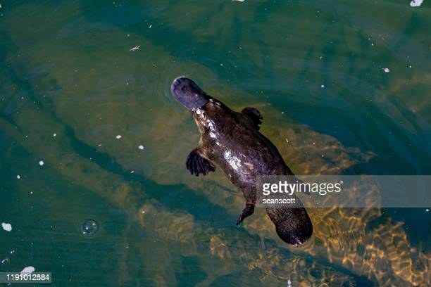 overhead view of a platypus swimming in a river, australia - duck billed platypus stock pictures, royalty-free photos & images