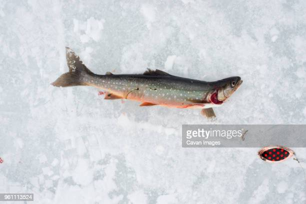 Overhead view of caught arctic char in snow at Abisko National Park