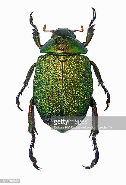 Overhead view of chrysophora chrysochlora beetle