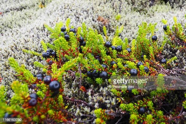 overhead view of crowberries in natural habitat - area selvatica foto e immagini stock