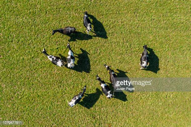 overhead view of dairy cows in field - overhead view stock pictures, royalty-free photos & images