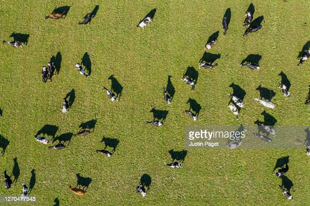 overhead view of dairy cows in field - elevated view stock pictures, royalty-free photos & images