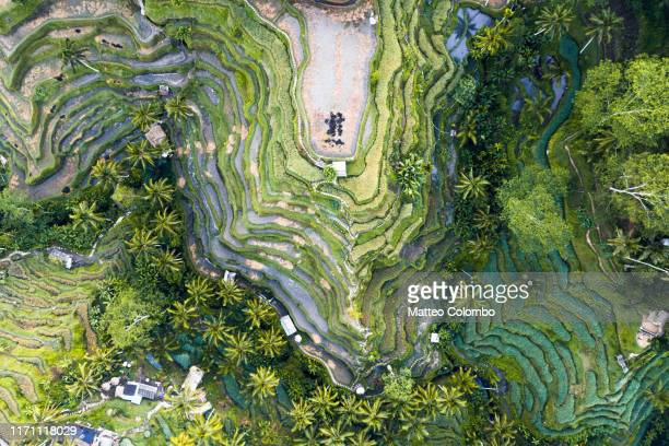 overhead view of famous tegallalang rice fields, bali - unesco world heritage site stock pictures, royalty-free photos & images