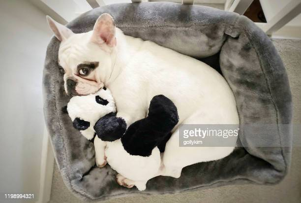 overhead view of french bulldog snuggles with her panda toy in dog bed - pet toy stock pictures, royalty-free photos & images