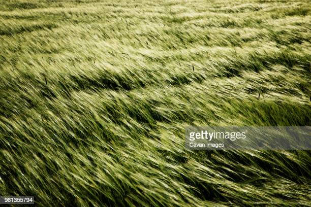 overhead view of grass swaying on field - vent photos et images de collection