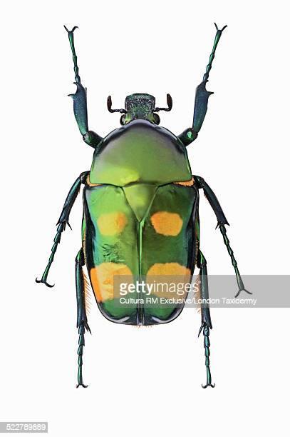 Overhead view of jumnos ruckeri beetle