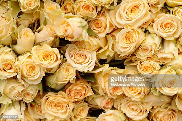 Overhead view of many yellow roses