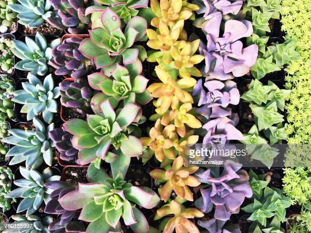 Overhead view of multi-colored succulents plants