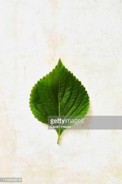 overhead view of perilla leaf on white table - shiso stock pictures, royalty-free photos & images