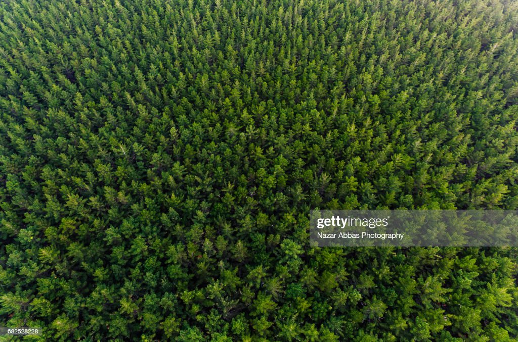 Overhead View Of Pine Forest, New Zealand. : Stock Photo