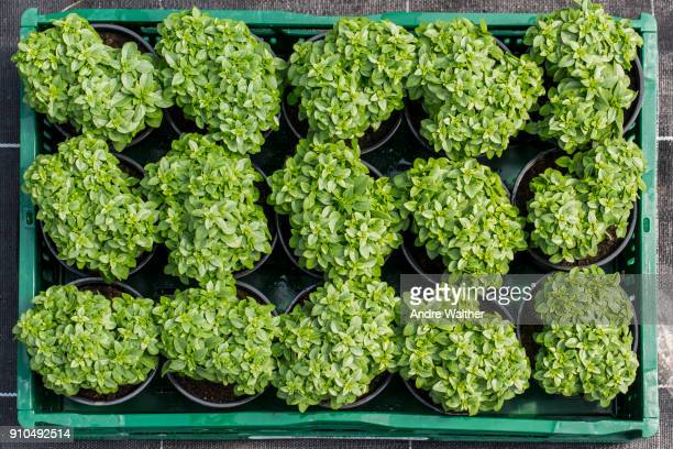 overhead view of potted plants in tray - organic farm stock photos and pictures