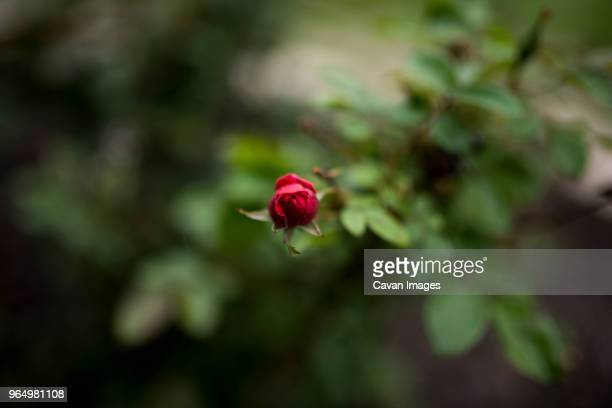 Overhead view of red rose bud in park