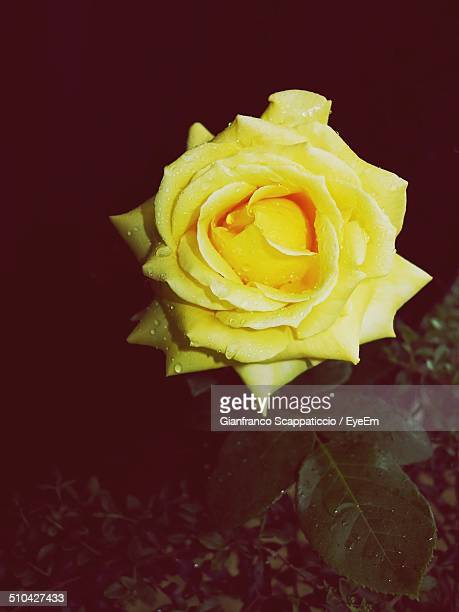 Overhead view of water drops on yellow rose