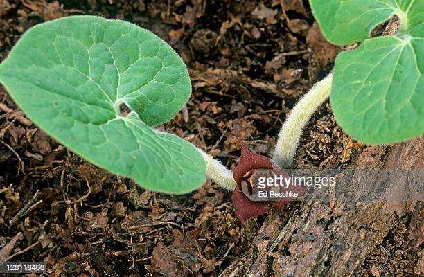 Overhead view of Wild Ginger, Asarum canadense. Spring Wildflower. Grows at ground level, April-May. Rich woods, root has a strong ginger-like odor. Michigan. USA