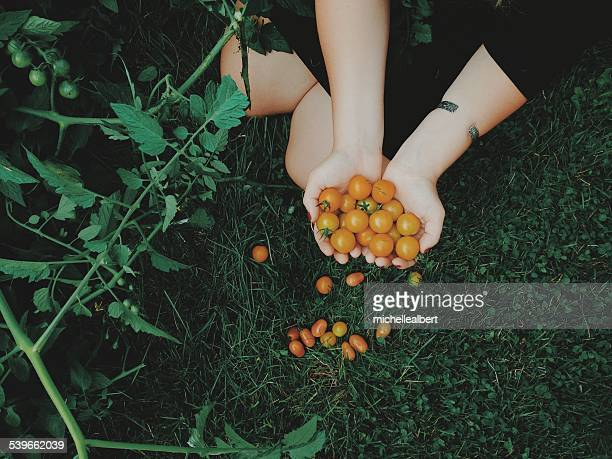 overhead view of woman holding freshly picked tomatoes - handful stock pictures, royalty-free photos & images