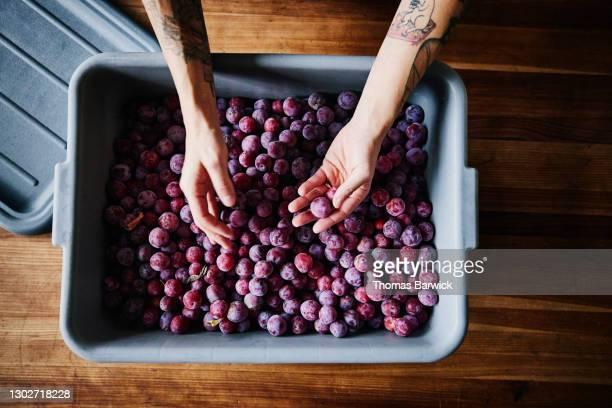 overhead view of womans hands sorting bin of organic plums in kitchen - 検査業務 開始の地 ストックフォトと画像
