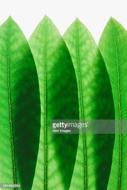 Overlapping green Rhododendron leaves, close up