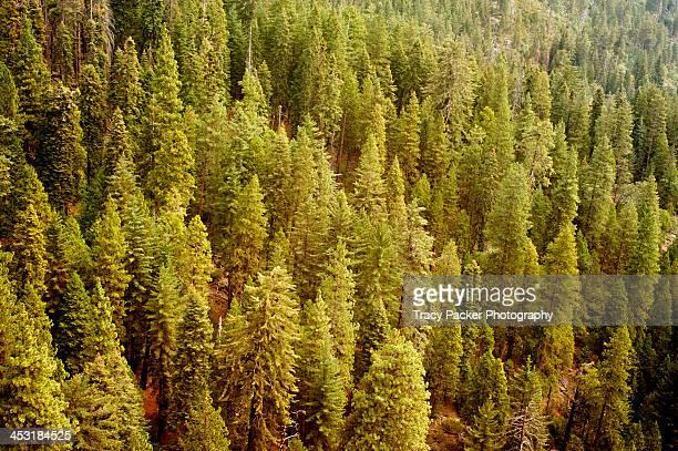 overlooking conifers in sequoia national forest - sequoia national forest stock photos and pictures