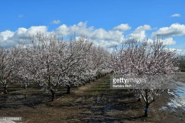 overlooking rows of an almond orchard in blossom in northern california under a blue clouded sky. - feeding america stock pictures, royalty-free photos & images