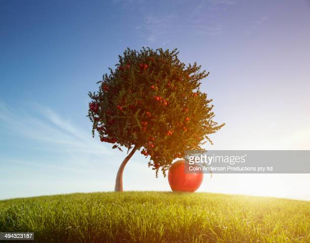 Oversized apple growing on tree in rolling field
