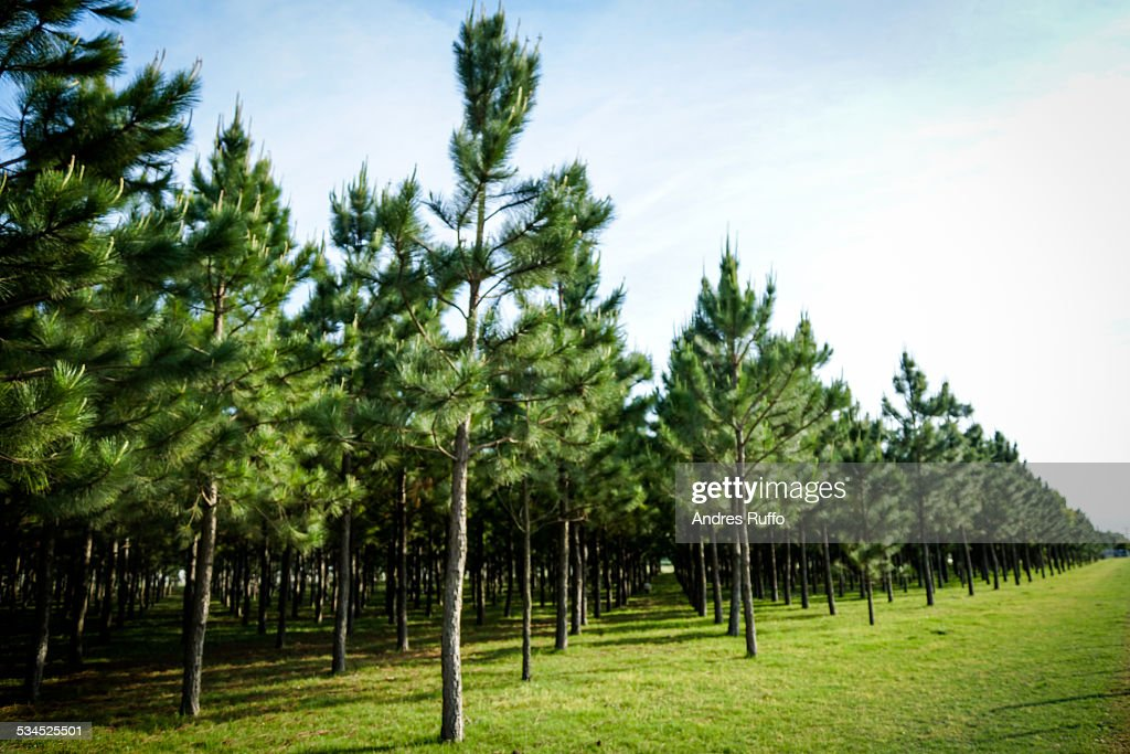 Overview of a group of pines in an forest : Stock Photo