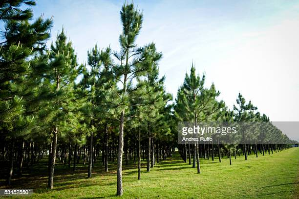 Overview of a group of pines in an forest