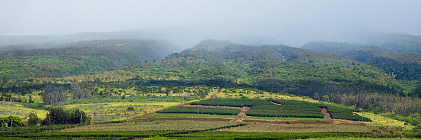 Overview of coffee plantation, mountains in fog