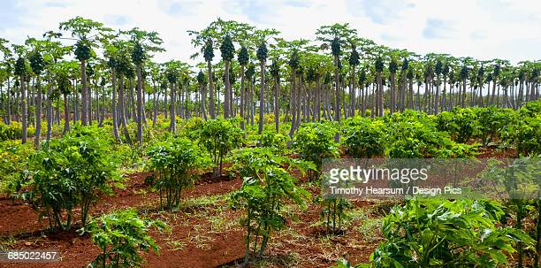 overview of papaya orchard (young trees in the foreground and mature trees laden with fruit in the background) on an organic farm - fruit laden trees stock pictures, royalty-free photos & images