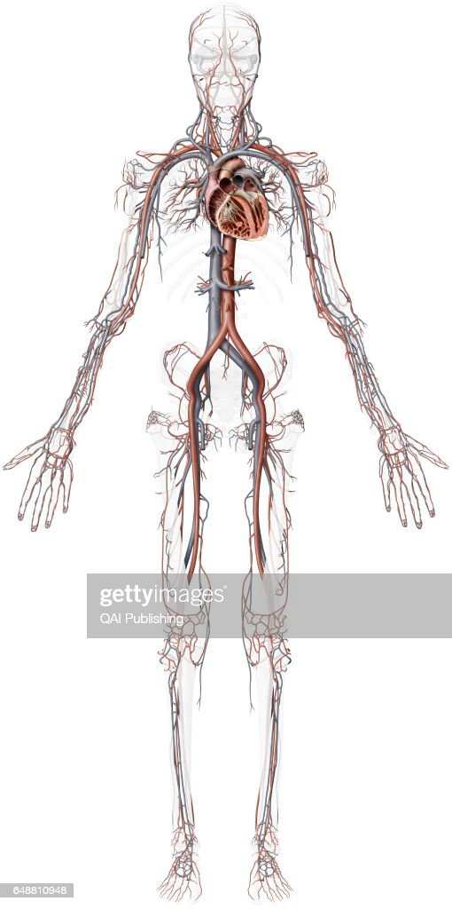 Overview Of The Cardiovascular System This Image Shows An Overview
