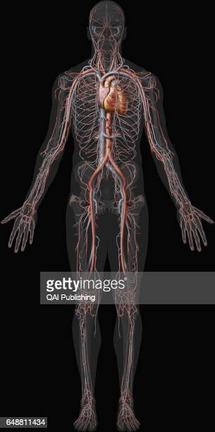 Overview of the cardiovascular system This image shows an overview of the cardiovascular system including the veins the arteries and the heart