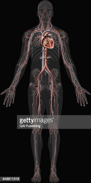 Overview of the cardiovascular system This image shows an overview of the cardiovascular system including the veins the arteries and a cross section...