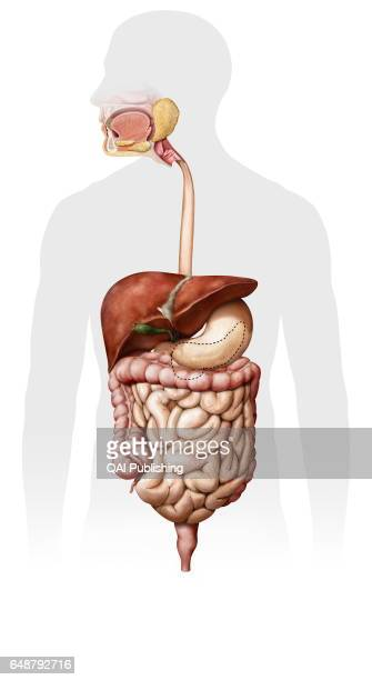 Overview of the digestive system System formed by the mouth the digestive tract and its glands that uses mechanical action enzymes or secretions to...